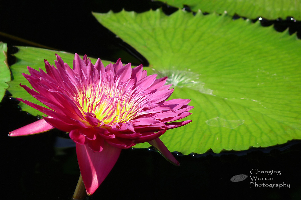 """Tropical day-blooming waterlily rises above a bright green leaf and features the deep red-pink petals characteristic of the """"Red Beauty"""" cultivar found at Longwood Gardens, July 2010."""