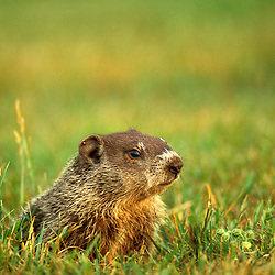 A woodchuck, Marmota monax, on a lawn in Portsmouth, New Hampshire.