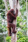 A wild orangutan (Pongo pymaeus) climbing a tree, Tanjung Puting National Park, Central Kalimantan, Borneo, Indonesia