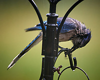 Wet Blue Jay. Image taken with a Nikon D5 camera and 600 mm f/4 VR lens