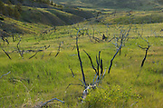 Grassland in the Missouri River Breaks after a wildfire. American Prairie Reserve region of the C.M. Russell National Wildlife Refuge south of Malta in Phillips County, Montana.