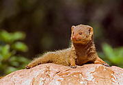 Dwarf mongoose (Helogale parvula) inhabit savannah, woodlands and mountain scrub across central and southern Africa. They have a body length of 18-26 centimetres, and are considerably smaller than other mongooses, which are around 40cm in length. They hunt small vertebrates and insects during the day.