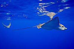 a pair of ocellated eagle rays, Aetobatus ocellatus, pregnant female and mate, Kona Coast, Big Island, Hawaii, USA, Pacific Ocean