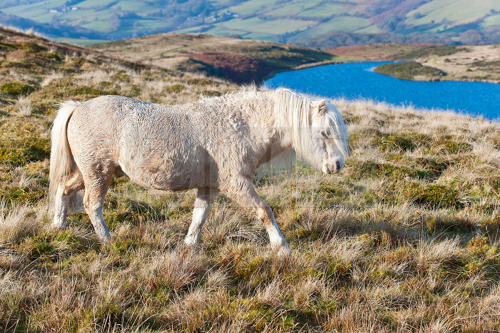 © Licensed to London News Pictures. 29/11/2019. Builth Wells, Powys, Wales, UK. The sun raises the air temperature to a few degrees above zero as Welsh mountain ponies graze in a very cold South East wind on the wild Mynydd Epynt range near Builth Wells in Powys, Wales, UK after temperatures plummeted to several degrees C below freezing in Powys last night. Photo credit: Graham M. Lawrence/LNP