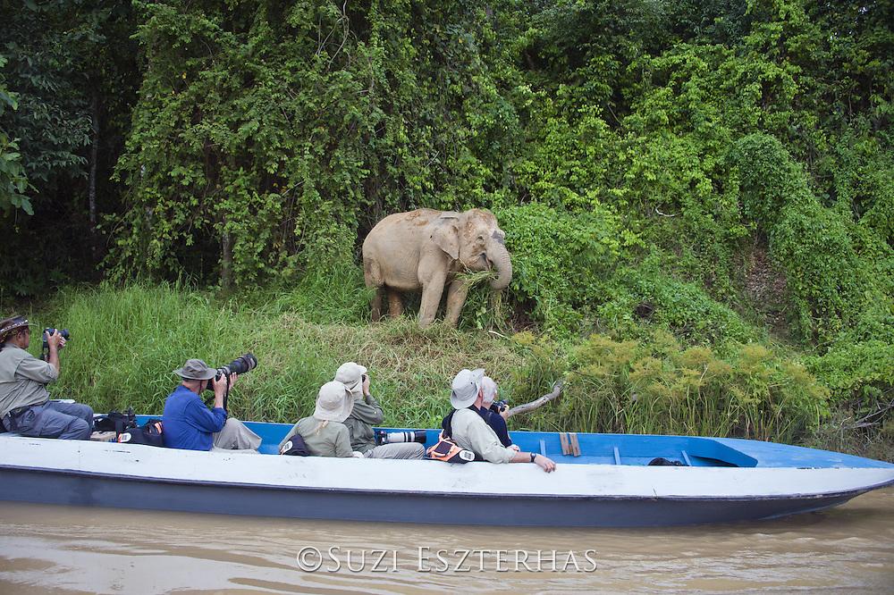 Borneo Pygmy Elephant <br /> Elephas maximus borneensis<br /> Kinabatangan River, Malaysia
