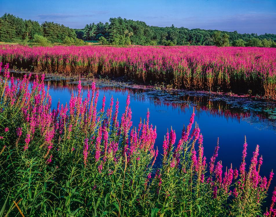 Purple Loosestrife growing along the Sudbury River, Lincoln, MA