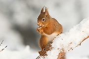 Red squirrel, Sciurus vulgaris, winter coat, eating, on pinewood branch, Strathspey, Highland, snow, feeding