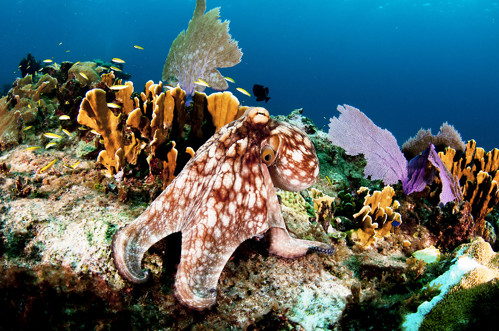 Common octopus (Octopus insularis) on a coral reef in The Bahamas.