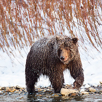 Grizzly bear fishing in the Fishing Branch River at the foot of Bear Cave Mountain in the Yukon Territory Canada.