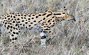 A serval (Leptailurus serval) stalks through dry grass hunting for rodents and other small animals. Serengeti National Park, Tanzania.
