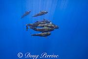 pod of short-finned pilot whales, Globicephala macrorhynchus, south Kona Coast, Hawaii, U.S.A. ( Central Pacific Ocean )