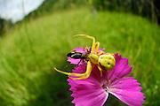 Crab spider (Misumena vatia) | Veränderliche Krabbenspinne, Misumena vatia, Weibchen auf Nelkenblüte; Kaiserstuhl, Oberrheinischen Tiefebene, Deutschland