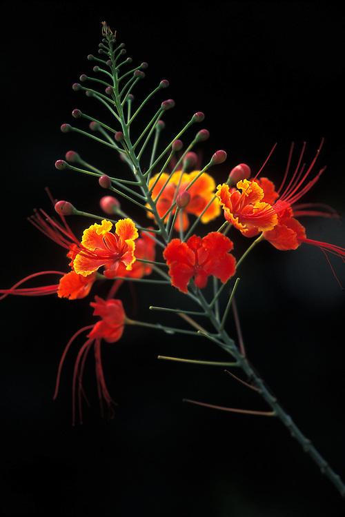 BELIZE / San Ignacio / Detail of a flower...© JOAN COSTA
