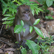 The Philippine long-tailed macaque (Macaca fascicularis philippensis) is a subspecies of the crab-eating macaque. It is found in most Philippine forests and woodlands, but especially in the mangrove forests of western central Philippines— particularly in Palawan, the Visayas, and Mindanao.