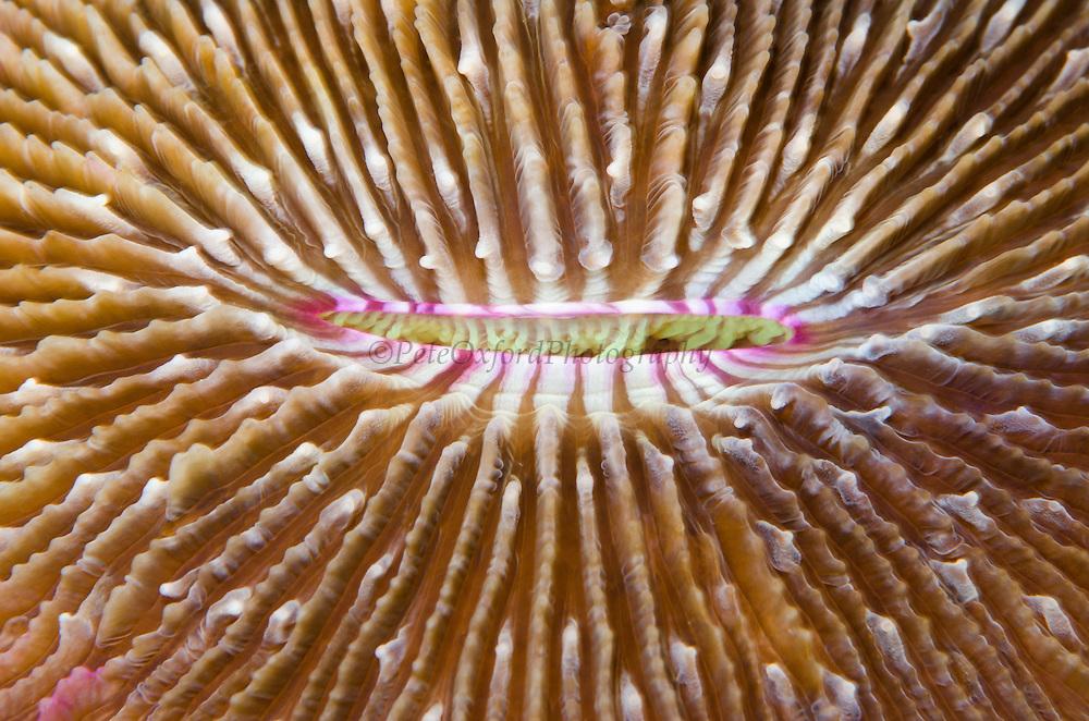 Mushroom Coral (Fungias scutaria)<br /> Fiji. <br /> South Pacific