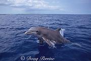 Atlantic bottlenose dolphin, Tursiops truncatus, porpoising out of water, Bahamas ( Western Atlantic Ocean )
