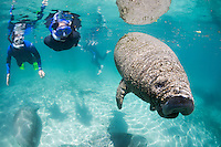 Florida manatee, Trichechus manatus latirostris, a subspecies of the West Indian manatee, endangered. Snorkelers observe manatees on a cool Florida day with a number gathered below around the warm springs. A calf swims actively into the warm sunlight. Horizontal orientation, reflections and polite, passive interaction. Three Sisters Springs, Crystal River National Wildlife Refuge, Kings Bay, Crystal River, Citrus County, Florida USA.
