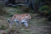 A leopard, Panthera pardus, running.
