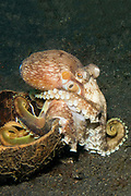 Coconut Octopus emerges from a cocnut shell which it carries to cover itself if threatened.(Amphioctopus marginatus).Lembeh Straits, Indonesia