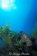 red grouper, Epinephelus morio, <br /> resting in gorgonian soft coral, <br /> Little Bahama Bank, <br /> Bahamas ( Western Atlantic Ocean )
