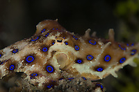 Greater blue ringed octopus (Hapalochlaena lunulata) flashes blue rings when it feels threatened. These tiny animals (about the size of a golf ball) pack a potentially life threatening venom.