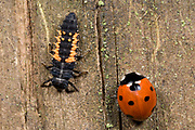 Close up of a harlequin ladybird larva (Harmonia axyridis) and an adult 7-spot ladybird (Coccinella 7-punctata) coexisting on a wooden fence post in a Norfolk wood in autumn