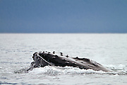 USA, Alaska, Chatham Strait, Humpback whale (Megaptera novaeangliae) feeding