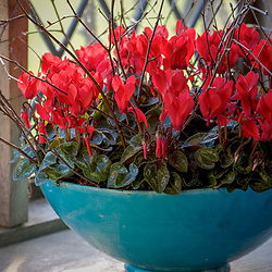 Cyclamen in a turquise bowl on a windowsill
