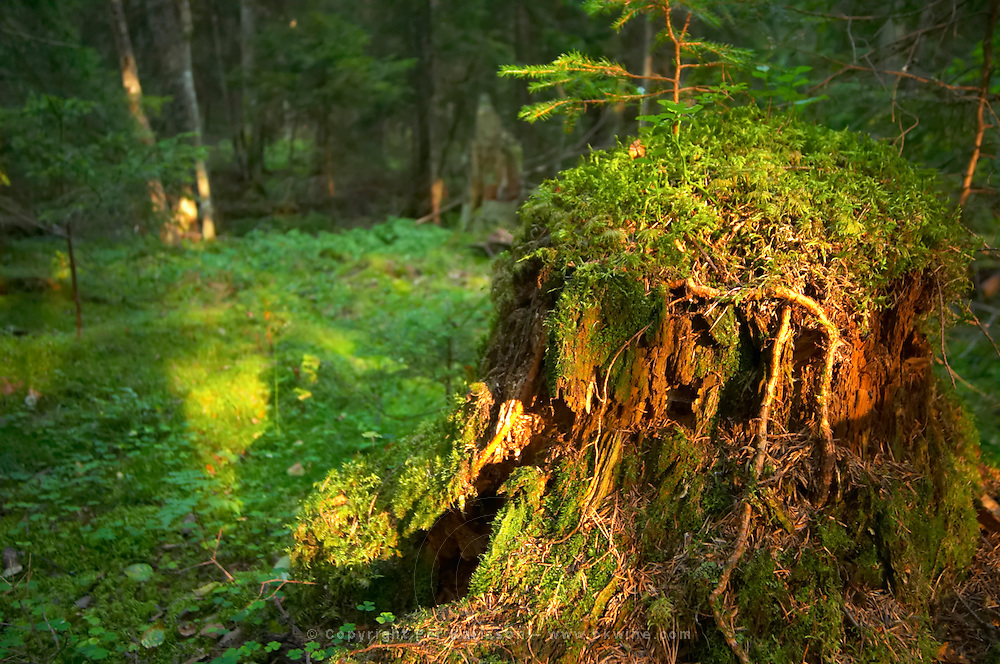 Tree stub overgrown with green moss in a forest. Smaland region. Sweden, Europe.