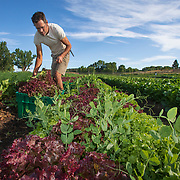 Daniel Fullmer harvests red leaf lettuce from his land on the Tierra Vida Farm near Durango, Colorado. Fullmer emphasizes soil health on his farm by placing plants that draw nutrients back into the soil alongside crops that are harvested. Nathan Lambrecht/Journal Communications
