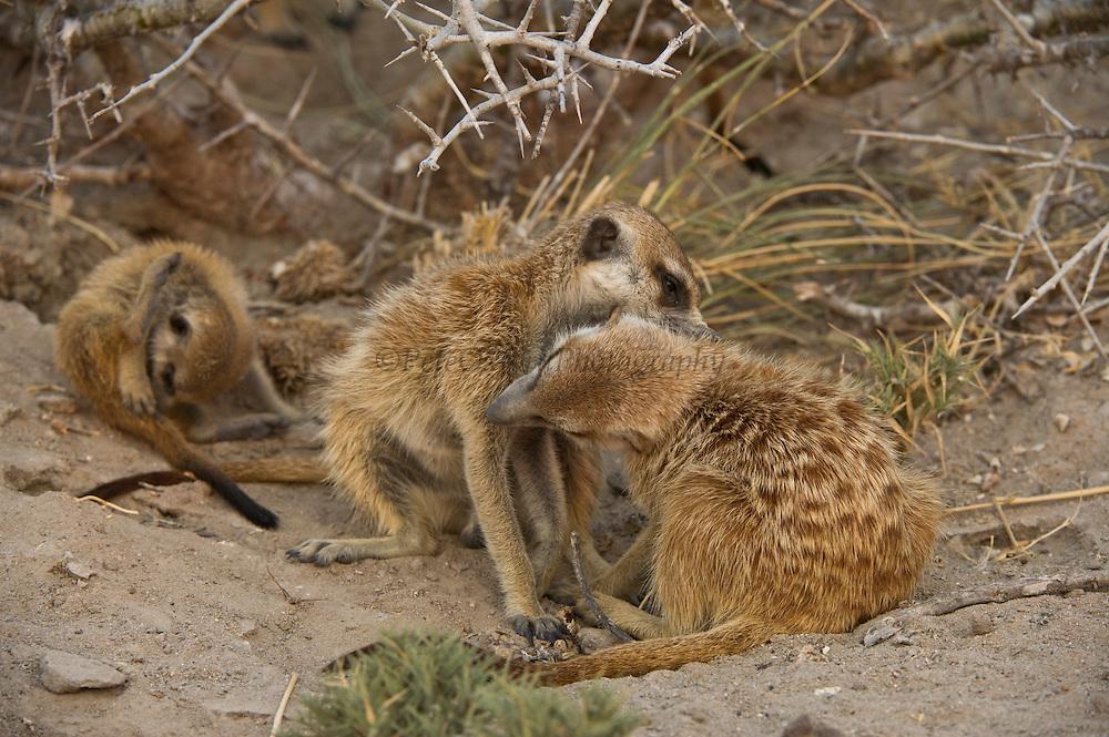 Meerkat or Suricate (Suricata suricatta) Grooming<br /> Makgadikgadi Pans, Kalahari Desert<br /> Northeast BOTSWANA<br /> HABITAT & RANGE: Kalahari Desert in Botswana, Namib Desert of Namibia, Angola and South Africa