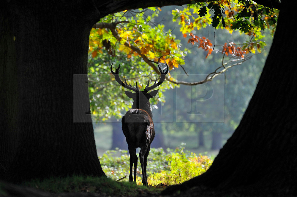 © Licensed to London News Pictures. 04/10/2017. London, UK.  Red deer take part in the annual rut in Richmond Park, which occurs during October and November.  Photo credit : Stephen Chung/LNP