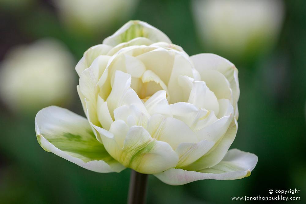 Tulipa 'White Touch'