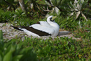 Masked Booby, Sula dactylata, Henderson island (World Heritage site), Pitcairn Group<br />