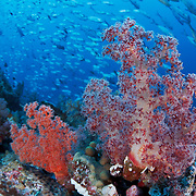 Red and orange soft coral (Dendronephthya sp.) in the Eastern Fields of Papua New Guinea, framed by a curtain of thousands of bigeye trevallies (Caranx sexfasciatus)