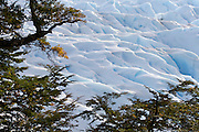 Trees frame a section of the Perito Moreno Glacier. The glacier is a popular hiking destination in Los Glaciares National Park, Argentina.