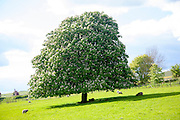 Candelabra of summer flowers on a horse chestnut tree, Aesculus hippocastanum, standing in  a grassy field, near All Cannings, Wiltshire, England
