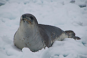 Leopard seal, Antarctica and South Shetlands
