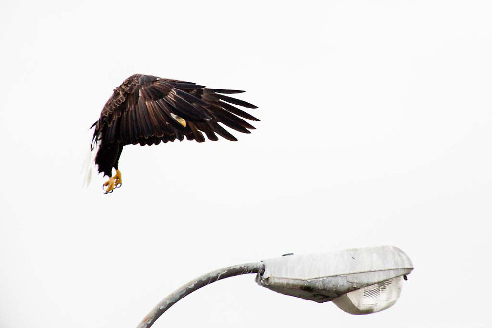 An American bald eagle lands near the naval yard on the Anacostia River in Washington, D.C., on Oct. 1, 2014. (Photo by Will Parson/Chesapeake Bay Program)
