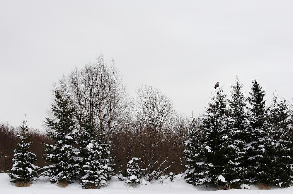 WILD GREAT GREY OWL; STRIX NEBULOSA; HUNTING; PREDATOR; WINTER; FEBRUARY; COLD; BIRD OF PREY; EUROPE; OULU, FINLAND
