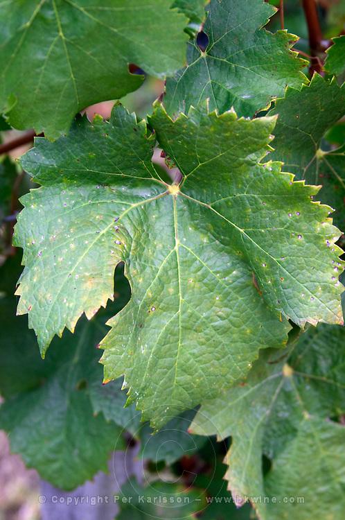 Vine leaf. Cabernet Franc. Chateau Belle-Garde, Bordeaux, France