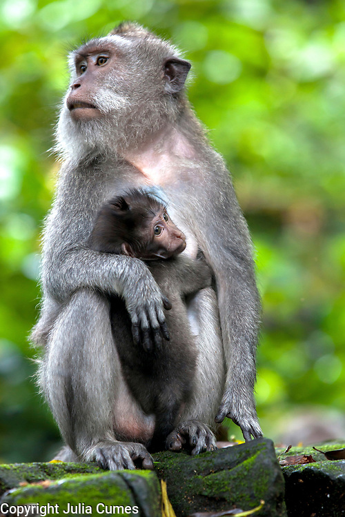 A female macaque monkey holds onto her infant in the Sacred Monkey Forest in Ubud on the island of Bali, Indonesia.