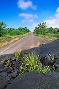 Ferns emerging from lava flow covering the remains of Highway 130 in Kalapana, The Big Island, Hawaii USA