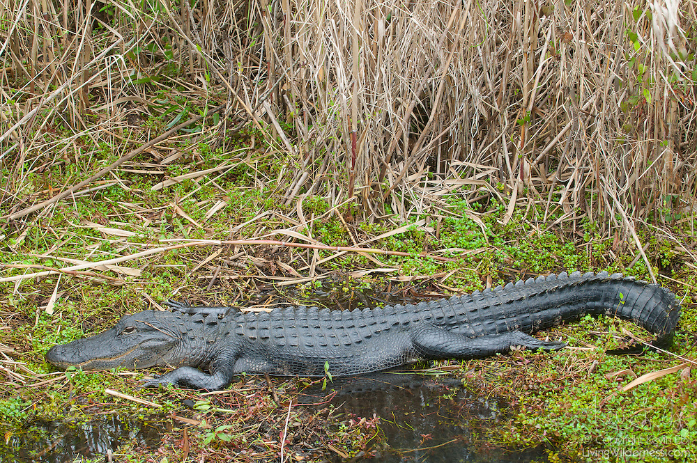 An American alligator (Alligator mississippiensis) rests in a marshy area of the Florida Everglades. American alligators are found in the southeast United States. Florida and Louisiana each have alligator populations of greater than one million.