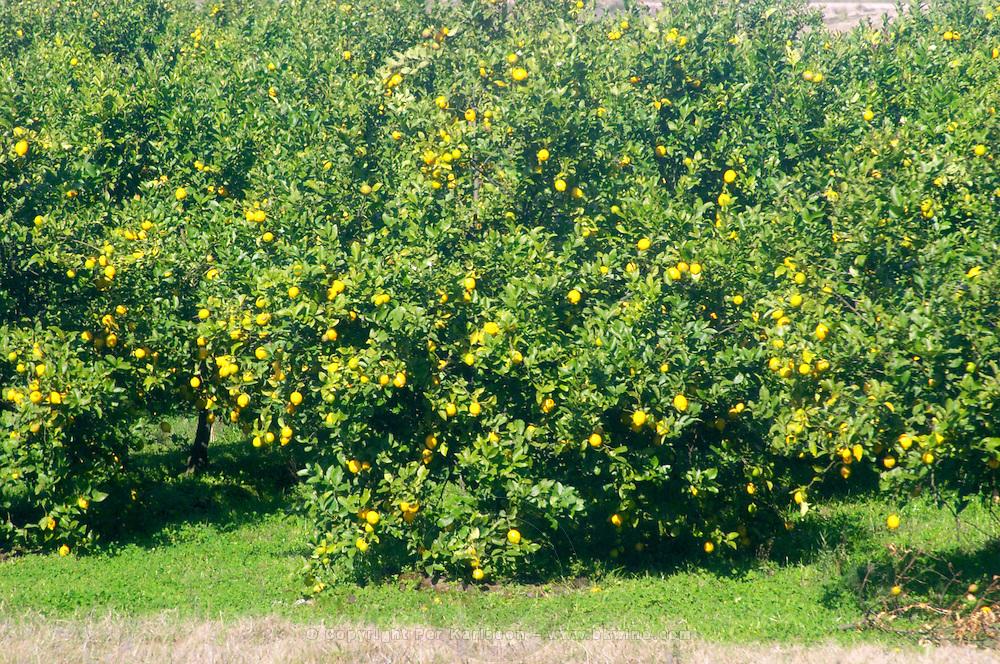 A road side lemon tree with ripe yellow lemons. Uruguay, South America
