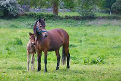 Mare and foal, County Mayo, Ireland