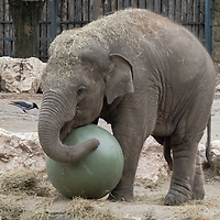 Baby elephant Arun plays with a ball gifted to him as a birthday present at the Zoo Budapest in Budapest, Hungary on Nov. 5, 2020. ATTILA VOLGYI