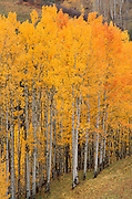 Golden fall aspens in the Sneffels Range, Uncompahgre National Forest, Colorado