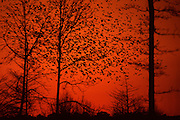 Red-winged Blackbirds departing swamp at dawn - Mississippi