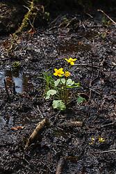 Gewone dotterbloem, Caltha palustris ssp. palustris